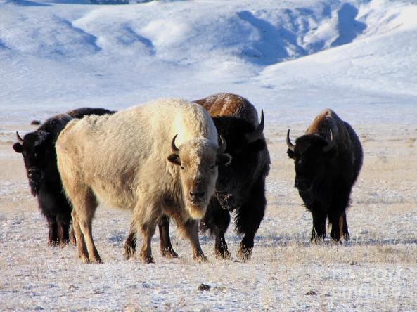 white-buffalo-carol-milisen