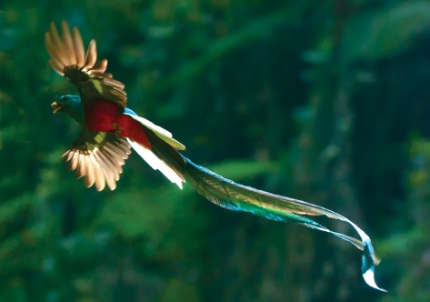 Quetzal, the bird of Guatemala (from uknown internet source, please identify credit if you know it!)