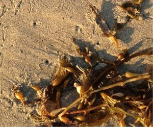 Redondo Seaweed
