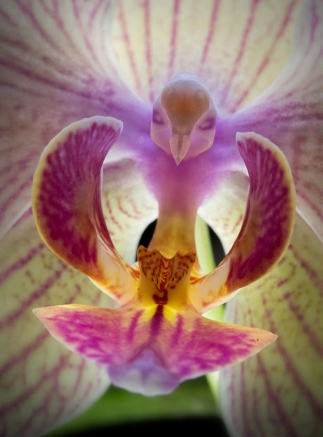 flowers-look-like-animals-people-monkeys-orchids-pareidolia-9